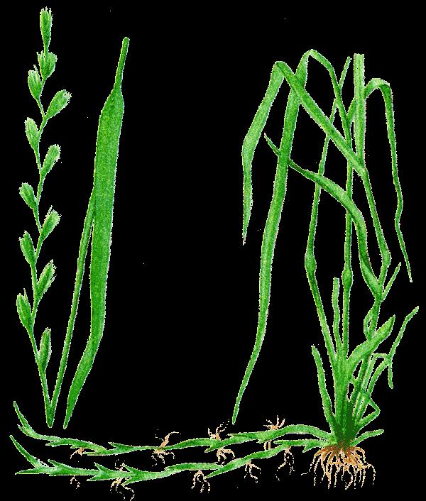 Фотографии и иллюстрации растений