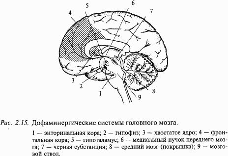 Дофаминовые цепи мозга