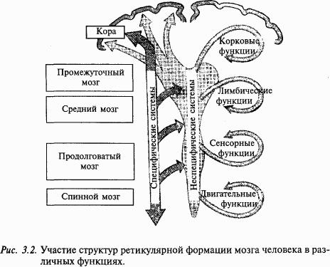 структуры головного мозга)