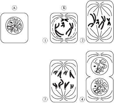 Интерфаза (А) и фазы митоза