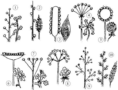 Типы соцветий: 1 – кисть;