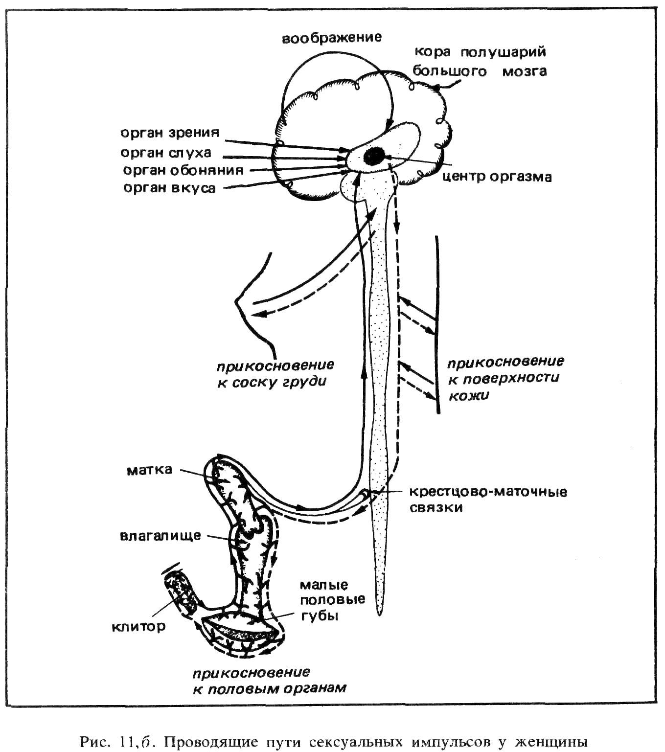 nervnie-okonchaniya-klitora