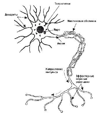 отросток нервной клетки.