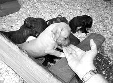 На что обратить внимание при выборе щенка тибетского мастифа