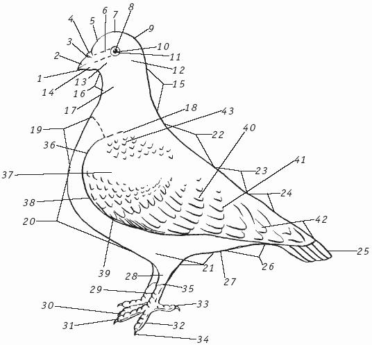 Общее строение голубя и его