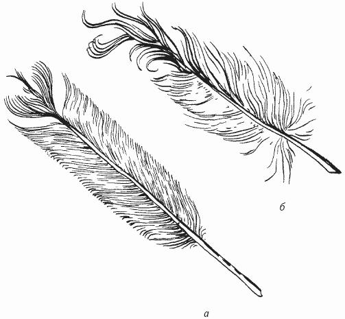 Длинные контурные перья