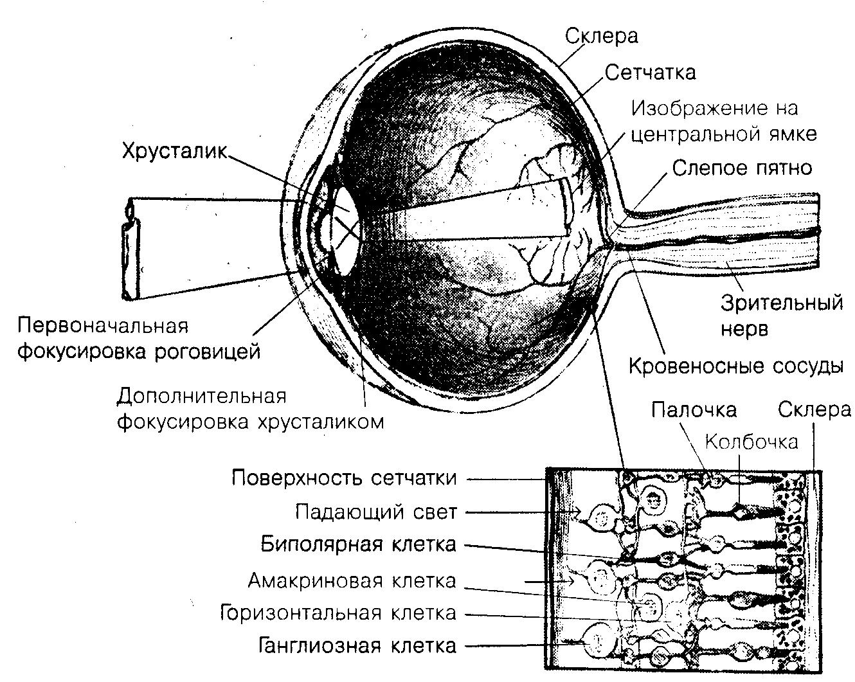 схема речевого рецептора